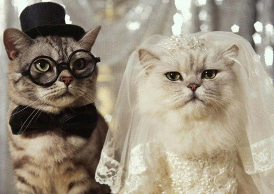 funny-cats-wedding-wallpaper